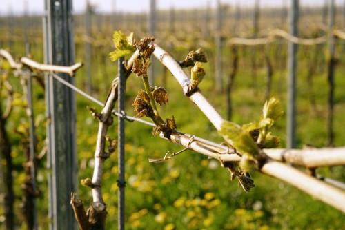 Frostschäden im Weinberg