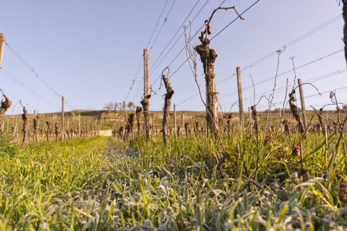 Weinberg mit Bodenfrost am Morgen vom 13. April mit -3°C
