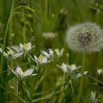 Blume Milchstein