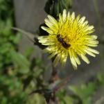 Blumen Wiesen-Bocksbart 1