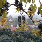 Cabernet Sauvignon mit Trauben