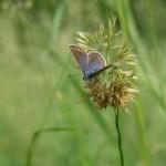 Insekt Bläuling Schmetterling