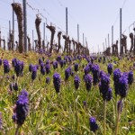 Unsere Weinberge im Frühling