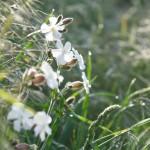 Acker-Lichtnelke Blume
