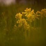 Blumen Schlüsselblume