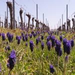 Blumen Traubenhyazinthen