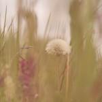 Löwenzahn- Blumen
