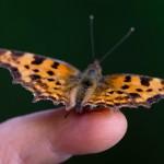 Schmetterling auf dem Finger