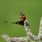 Schmetterling mit bienen